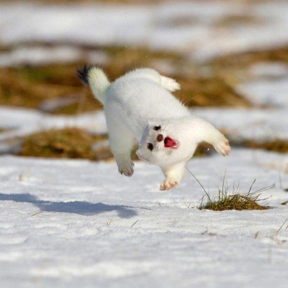 Airborne Ferret